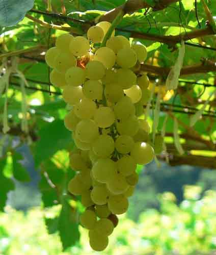 Chenin blanc: características de la uva y sus vinos - diccionario de uvas para vinos