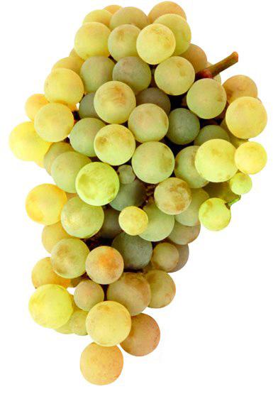 Xarel·lo o xarello: características de la uva y sus vinos - diccionario de uvas para vinos