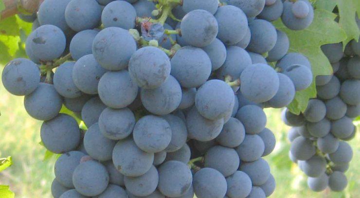 Carmenere: características de la uva y sus vinos - diccionario de uvas