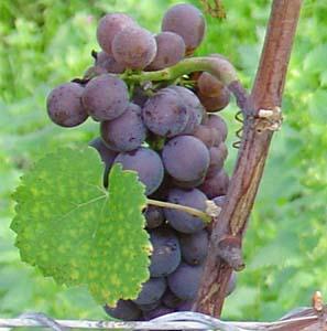 Pinot gris: características de la uva y sus vinos - diccionario de uvas para vinos