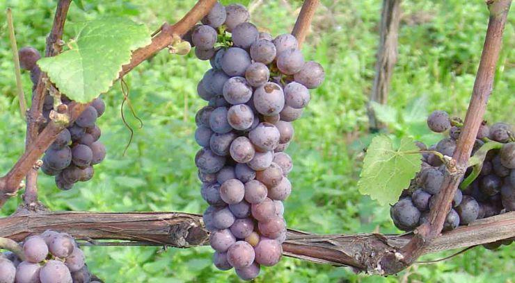 Pinot gris: características de la uva y sus vinos