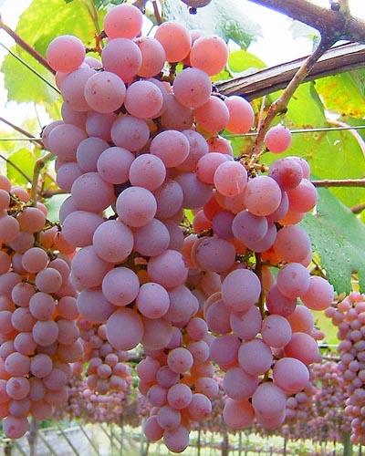Principales uvas y características de los vinos japoneses: Koshu - vinos del mundo