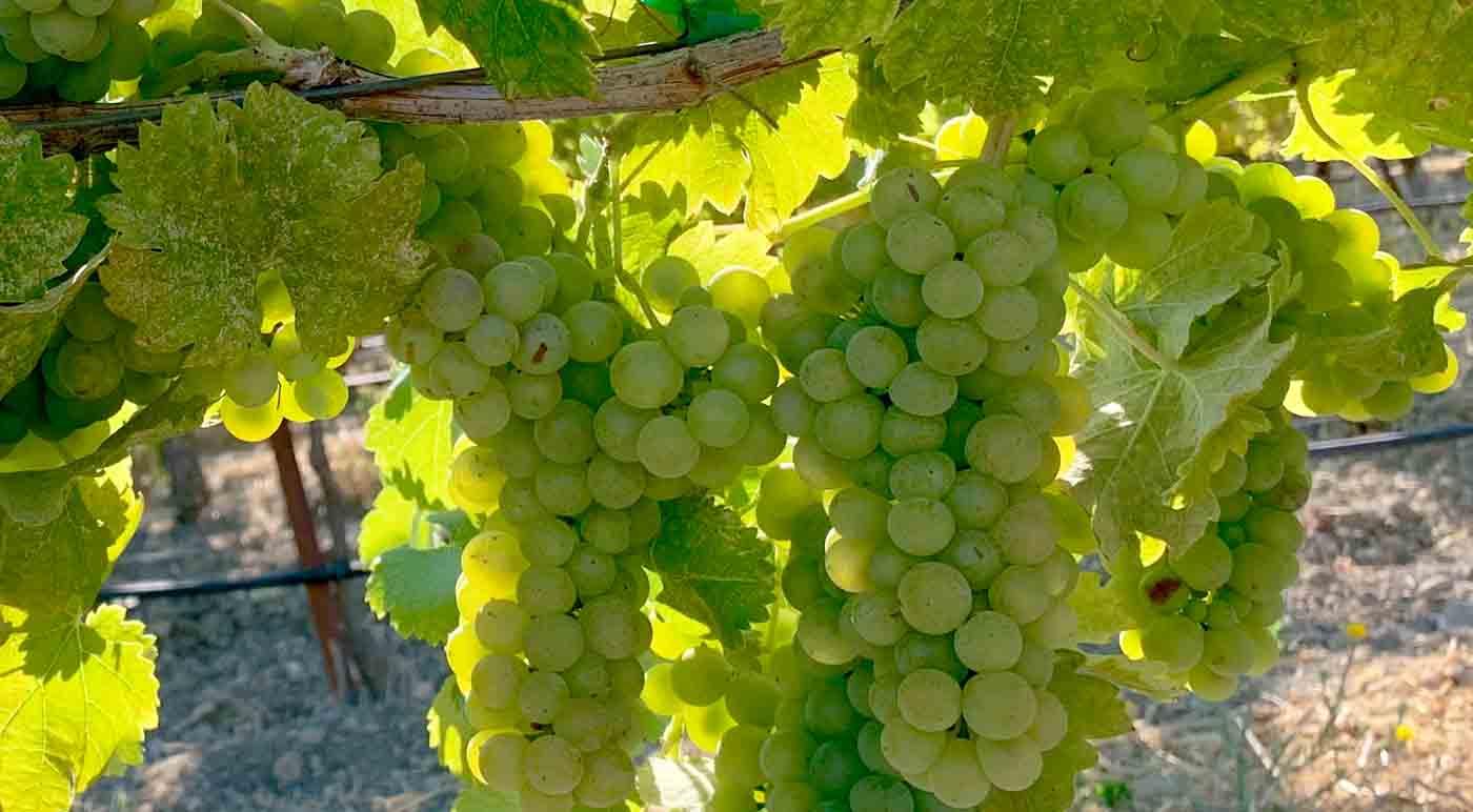 Viognier: características de las uvas y sus vinos