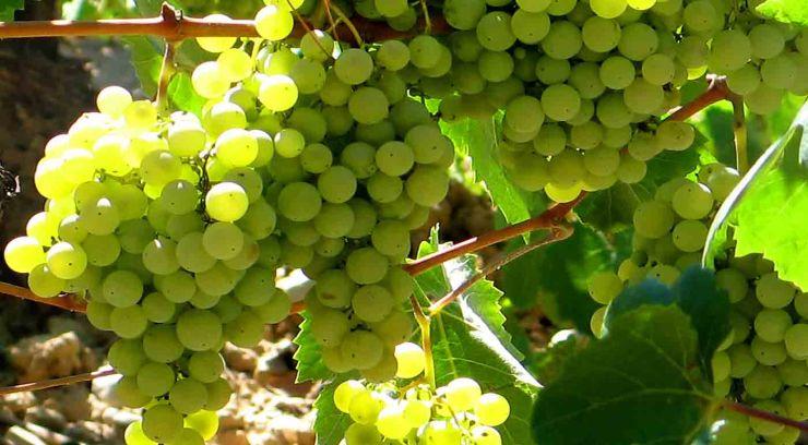 Parellada: características de la uva y sus vinos - diccionario de uvas